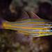 Yellowstriped Cardinalfish - Ostorhinchus cyanosoma