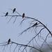 Northern Rough-winged Swallow | Gila River Bird Habitat | Gila |