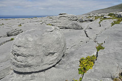 Glacial erratics. (mcgrath.dominic) Tags: glints grikes hazeltree wildflowers theburren coclare