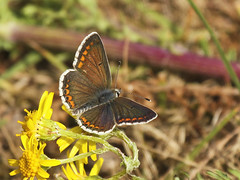 Butterfly - Brown Argus (Prank F) Tags: rspb thelodge sandy bedfordshireuk wildlife nature insect macrocloseup butterfly brown argus