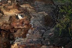 slime mold (myriorama) Tags: slimemold myxomycetes plasmodium physarum stemonitis log