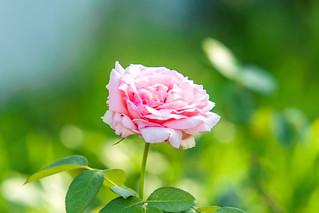 Pink Rose (Hama Mirai) : バラ(はまみらい)