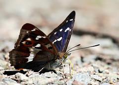 Purple-Emperor (Darren.Chapman) Tags: purple emperor butterfly large magnificent fermyn northants woods macro