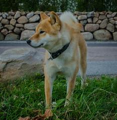 Shiba Inu Zoey (frankmh) Tags: animal dog shibainu hittarp helsingborg skåne sweden outdoor