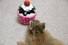 Ichigo san 797 (Ichigo Miyama) Tags: いちごさん。うさぎ ichigo san rabbitbunny netherlanddwarf brown ネザーランドドワーフ ペット いちご うさぎ rabbit