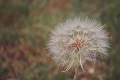 Dandelion clock (mamacollins231283) Tags: dandelion taraxacum flower plant europe garbagna seeds