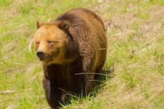 Walking my way (ChicagoBob46) Tags: grizz grizzly grizzlybear bear sow yellowstonenationalpark yellowstone nature wildlife