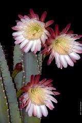 Cereus Peruvianus h 04.26 (Paolo Bonassin) Tags: cactaceae cactacee cactus succulente cereus cereusperuvianus flowers