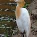 Mirissa - Cattle Egret