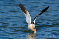 You can dive but you can't hide! (craig goettsch) Tags: americanavocetrecurvirostraamericana hendersonbirdviewingpreserve2017 skirmish bird avian wildlife nature animals blue water wings nikon d500