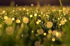 embrace the ordinary (joy.jordan) Tags: grass dew morning bokeh light texture nature summer waterdrops