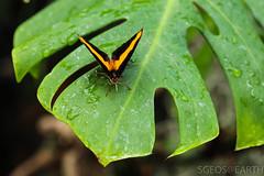 20170715-IMG_7374 (SGEOS@EARTH) Tags: vlindertuin vlinder vlinders butterfly butterflies vlindersaandevliet observer colorfull insects nectar indoor nature wildlife canon macro 100mm