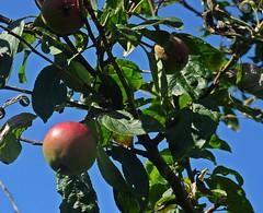 Raw Cider (Bricheno) Tags: 蘇格蘭 स्कॉटलैंड σκωτία kilwinning apples bricheno scotland scozia szkocja scoția schottland écosse escocia escòcia ayrshire