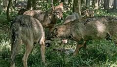 Im Wolfsrudel ... verteidigen der Beute (gabrieleskwar) Tags: outdoor wolfsgehege wölfe wolf beute wald wolfsrudel bäume