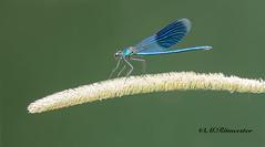 Weidebeekjuffer male / Calopteryx splenders (m.ritmeester) Tags: ngc naturelovers natuur nederland weidebeekjuffer wit blauw zwart libelle limburg groen