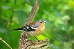 Male Chaffinch (David Blandford photography) Tags: male chaffinch blashfordlakes hampshire wildlife trust
