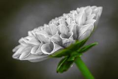 Dalia (seguicollar) Tags: flower flor dalia dalhia gris white green verde blanco imagencreativa photomanipulación art arte artecreativo artedigital virginiaseguí closeup macro macrofotografía