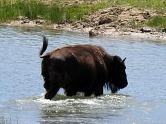 buffalo (Tear Drop Reflections Photography) Tags: buffalos buffalo buffaloherd herd utah buffaloroams