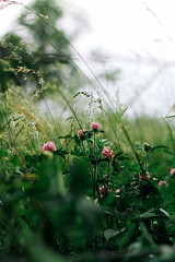 Red Clover (Pics by Abigail) Tags: clover flower flowers wildflowers country summer summerinthecountry fields growingwild wild purple red nature outdoorbeauty missouri rural rurallove 50mm canon 7d
