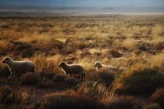 bahhh... (Alvin Harp) Tags: shiprock newmexico october 2014 sheep sunset sonynex5r alvinharp