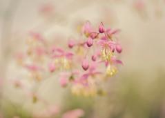 Thalictrum II (paulapics2) Tags: thalictrum fleur flora floral blümen summer outdoor plant bokeh depthoffield vintage hbw hydehallgardens rhshydehall garden nature canoneos5dmarkiii sigma105mmf28exdgoshsmmacro pink 7dwf