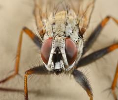 Fly I (Rotifer) Tags: insect macro fly montana libbymontana libbymt canon5dmkiv canonmpe65mm canonmpe65