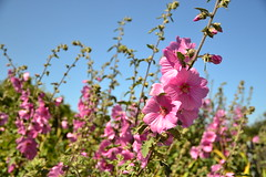 Floral (salinachann) Tags: alcatraz prison flowers pink