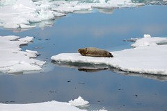 Bearded seal. (mariya_ka) Tags: beardedseal seal nikond600 nature travels animals ocean northern arctic svalbard ice
