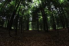 Au coeur des sapins (Arnaud Gabriel) Tags: forest fougères fôret france bretagne onf ensp tree arbres