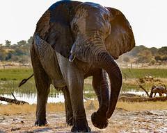 Bull Elephant, at the Boteti River, Botswana (donnatopham) Tags: botswana laroolatau elephants