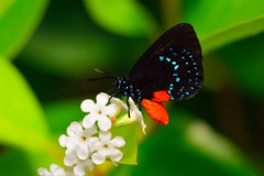 D71_5920_3742 (joezhou2003) Tags: butterfly wild life nature insect tamron 90mm f28 vc 004 nikon d7100 macro photography
