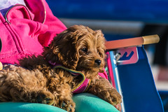 Wanda and Sicily decided to wear pink to the beach! (tquist24) Tags: cavapoo hww michigan nikon nikond5300 sicily stjoseph tiscorniapark wanda beach chair cute dog geotagged lap pink pretty puppy sweatshirt woman saintjoseph unitedstates