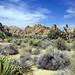 Desert Beauty, Joshua Tree NP 4-13