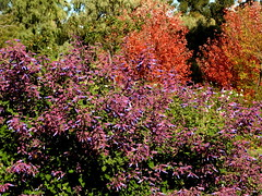 Urrbrae House and garden (Lesley A Butler) Tags: urrbraehouse universityofadelaideswaitecampus sa autumn australia adelaide