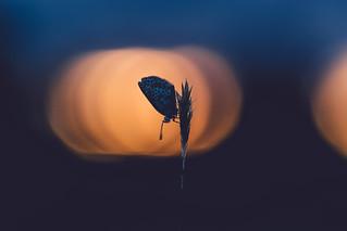 Lycaenidae in sunset bokeh.