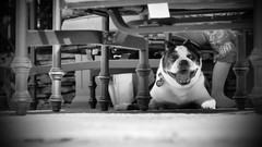 Dog Days (jonathanvigorito) Tags: bw blackandwhite french bulldog dog animal nj new jersey