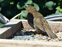 New Youngster in Town :) (Donna JW) Tags: picmonkey juvenilerobin erithacusrubecula robin europeanrobin