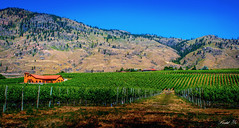 Osoyoos Winery 酒莊 (T.ye) Tags: osoyoos winery bc canada landscape mountain house grapes grape plant