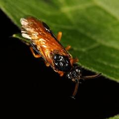 EOS 7D Mark II_051356 (Gertjan Kamsteeg) Tags: animal invertebrate bug insect sawfly argidae argidsawfly argeochropus rosesawfly arginae macro