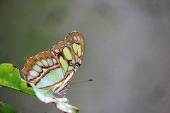 Tropical malachite (1) (Koku85) Tags: butterfly insect wing nature