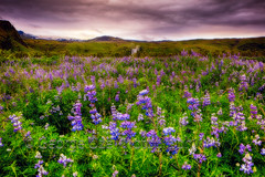 Lupine Filled Meadow (George Oze) Tags: iceland skoga skogafoss bloom clouds colorful daytime dreamy dusk europe fineartphotography glacier horizontal inspiring island landscape lowangleview lupine meadow mountains nature nopeople nobody outdoors peaceful perspective purplefields remote scenic seasons srene summer tranquil travel unspoiled waterfall wilderness is