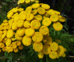Tansy (Durley Beachbum) Tags: 100flowers60 tansy tanacetumvulgare flower herb july bournemouth stourvalley fly megalocoleustanaceti plantbug