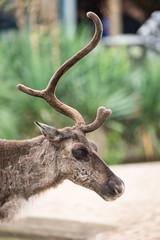 2017-07-23-12h52m33.BL7R5923 (A.J. Haverkamp) Tags: canonef100400mmf4556lisiiusmlens amsterdam noordholland netherlands zoo dierentuin httpwwwartisnl artis thenetherlands rendier rangifertarandus reindeer nl