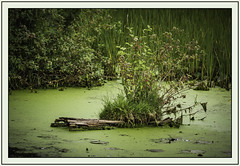 floating vegetation (TAC.Photography) Tags: vegetation water log floating algie reeds cattails growth nature naturephotography tomclarkphotographycom tacphotography tomclark