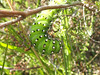 Caterpillar of Saturnia pavonia, Nachtpauwoog. (Michiel Thomas) Tags: fochteloërveen raupe rups nachtpauwoog kleine pavonia saturnia saturniapavonia green groen