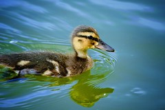 Duckling (Margug) Tags: d5300 nikon vögel natur küken enten stadtpark wien