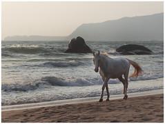 Athletic me (MaheshChopde) Tags: horse animal domestic sunset seashore beach waves sand shore mountains stroll canon canon650d nature walk rebelt4i white goa holidays vacation