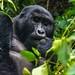 Silverback gorilla in Bwindi, Uganda