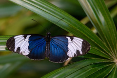 Blue and White Wings