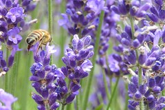 Lavender and Bee (Sara Turner Photography) Tags: outdoors bee honeybee lavender nature floral